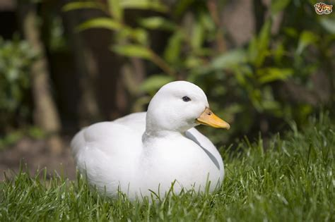 domestic breeds 3 gorgeous domestic duck breeds to keep in a garden pets4homes
