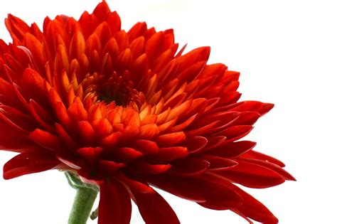 55 amazing chrysanthemum flower collection golfian com