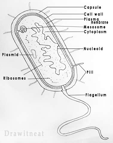 How To Draw A Prokaryotic Cell draw it neat how to draw bacteria