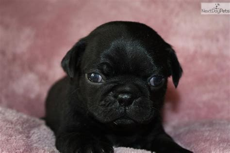 black pugs for sale in missouri pug puppy for sale near joplin missouri 9bd37ef9 1681