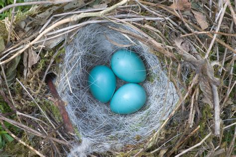 bluebird eggs color bird egg identification woodland trust
