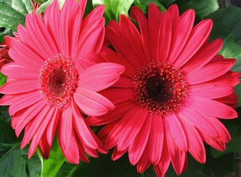 flower picture daisy flower 3 redish daisy flowers jpg hi res 720p hd