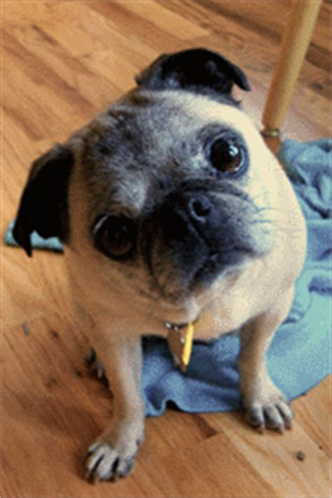 pug rescue denver doggie paw looza at cherry creek state park set for sept 12 yourhub