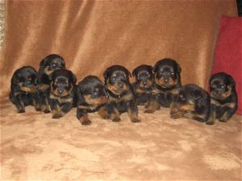 rottweiler puppies for sale in ms rottweiler puppies for sale