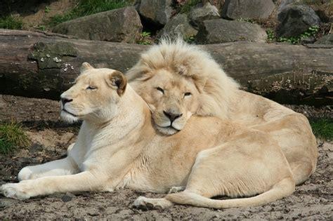Imagenes De Leones Albinos | imagenes de leones imagen pareja de leones albinos