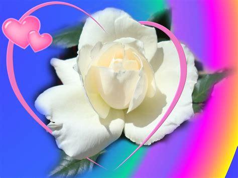 wallpaper flower white rose love best white rose flowers wallpapers entertainment only