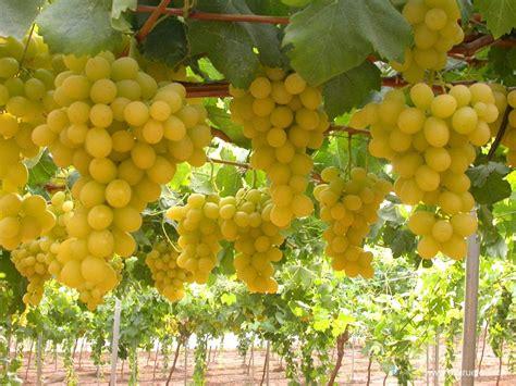uvas blancas imagenes fruta de hueso y uva de mesa productos el ciruelo