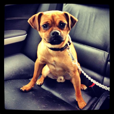 fawn and black pug mix fawn black jug pug cross terrier central pets4homes