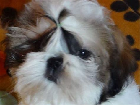 shih tzu puppies for sale in buffalo ny akc puppies for sale in missouri akc marketplace