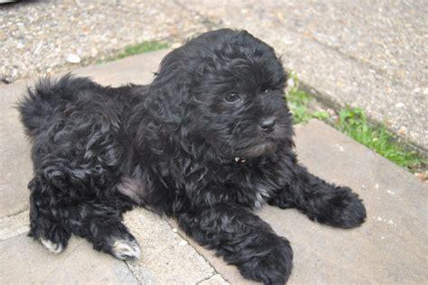 shih tzu cross poodle beautiful shih tzu poodle cross needs a home huntingdon cambridgeshire