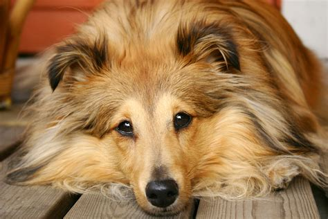 do dogs gallbladders gall bladder problems on the rise in dogs dr marty becker