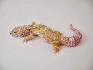 Jual Leopard Gecko Snow Kaskus jenis jenis gecko di dunia hewan indonesia dan jual beli
