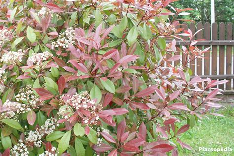 Glanzmispel Rubin by Tip Photinia Photinia Fraseri Robin Hedge How
