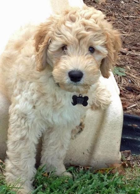 mini labradoodles ky australian labradoodle dogs how much is that