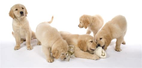 growls golden retriever rescue boys vs gold ribbon rescue