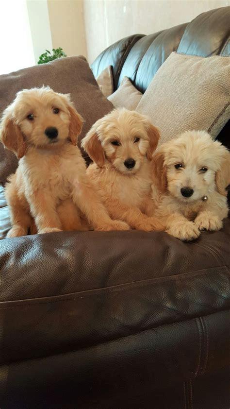 f1 goldendoodle puppies f1 goldendoodle puppies lowestoft suffolk pets4homes