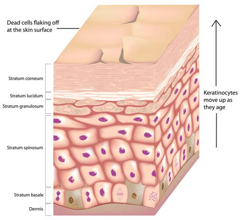 skin cells diagram how to take vitamin a for acne and skin health beautyeditor