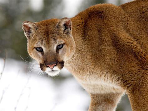 Wild Cats: The Cougar ? kimcampion.com