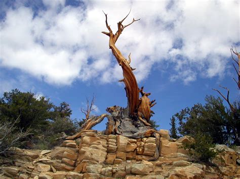 bristlecone pine tree california mystic tom clark the ancients great basin bristlecone pine