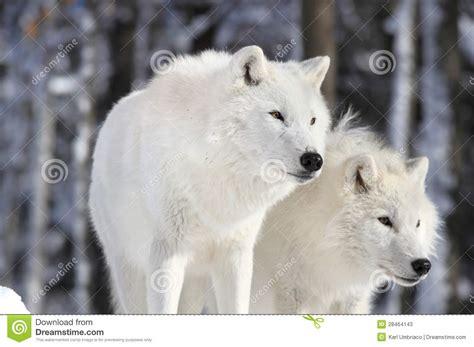 imagenes navideños hermosos dois lobos bonitos fotos de stock imagem 28464143