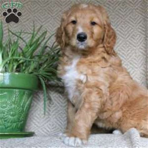 becky golden retrievers golden retriever mix puppies for sale in de md ny nj philly dc and baltimore
