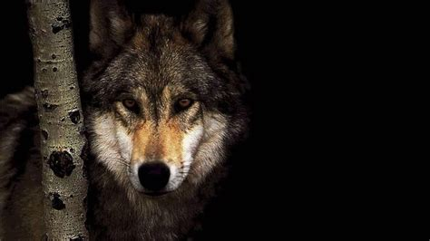 fonds decran hd loups wolves hd wallpapers