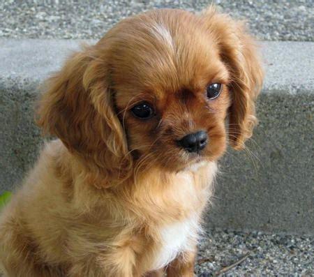 king charles cavalier spaniel puppy cavalier king charles spaniel puppies puppies breed