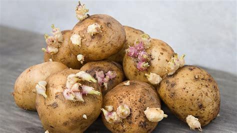 wann sind chignons schlecht keimende kartoffeln kann sie noch essen