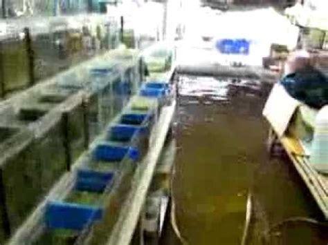 Cara Ternak Kutu Air Untuk Pakan Ikan Cupang cupang