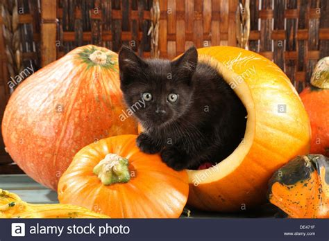 Pumpkin Kitten Live Wallpaper