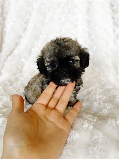 mini teddy puppies what is a teddy puppy mini teddy puppies newhairstylesformen2014