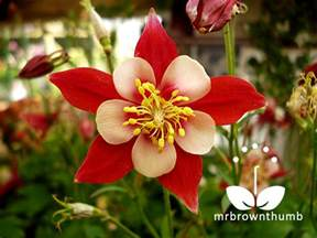 Flower Garden Seeds How To Collect Columbine Flower Seeds Mrbrownthumb