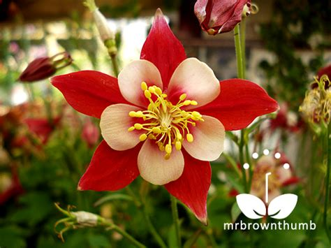 How To Collect Columbine Flower Seeds Mrbrownthumb Flower Garden Seeds