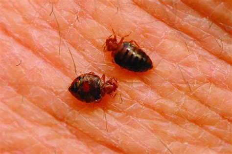flea vs bed bug bed bugs vs fleas difference and comparison diffen