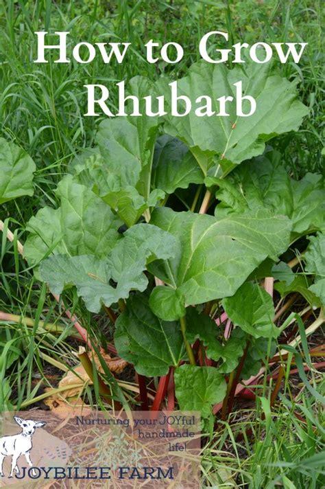 most difficult plants to grow how to grow rhubarb joybilee farm diy herbs