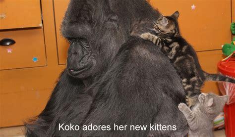 koko sopal nizam v 2 koko meets new kittens
