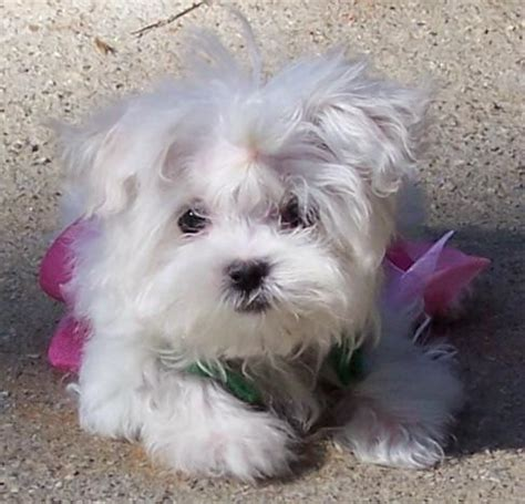 maltese puppies for sale in alabama baby maltese puppies for free adoption for sale in abbeville alabama breeds picture