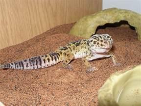 tip and trickss leopard gecko اڑکڑ چیتا چپکلی