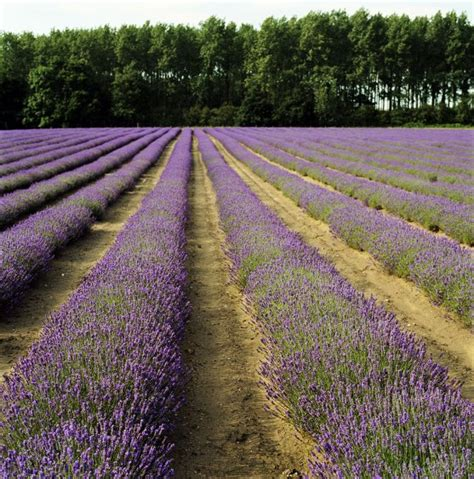 growing lavender for profit starting a lavender farm