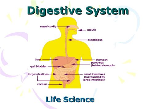 Digestive System Power Point Human Digestive System Powerpoint