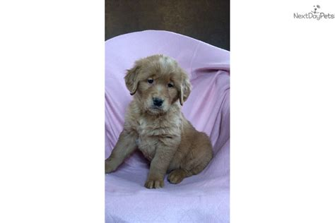 golden retriever puppies for sale michigan rhonda golden retriever puppy for sale near flint