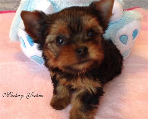 yorkie puppies minnesota teacup yorkie puppies for sale mn breeds picture