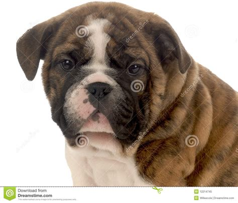 7 week puppy care seven week puppy stock image image of just isolated 12214745