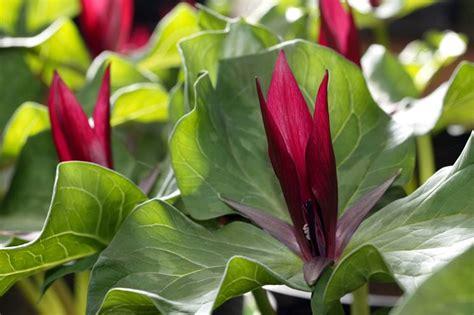 fiori e piante da giardino piante all ombra piante da giardino