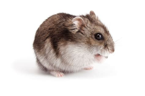 7 Tips On Taking Care Of Hamsters by Useful Tips On How To Care For Your Pet Djungarian Hamster