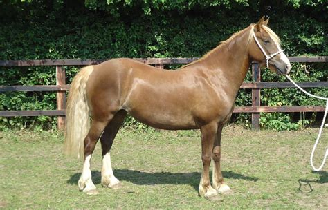 Welsh Cob Sec D Bury St Edmunds Suffolk Pets4homes