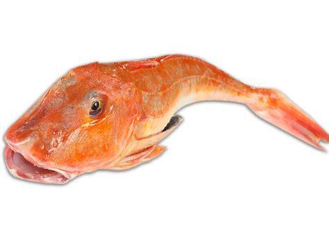 cucinare la gallinella gallinella di mare mazzola pesce alimentipedia