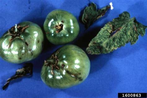 tomato pinworm