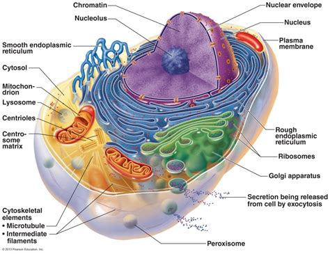 structure of animal cell and plant cell under microscope anatomy of human cell diagrams diagram site