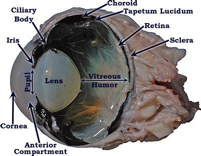 Cow Eye Dissection Worksheet by Cow Eye Dissection Labeled Cow Eye Sagittal Section